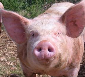 cochon biotifullpeople