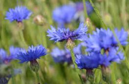 hydrolat-eau-florale-bleuet-biotifullpeople